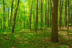 Green Deciduous Forest Summer Nature. Sunny Trees And Green Gras Stock Photos
