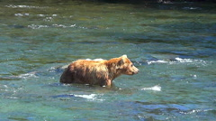 Bear Wading Downstream Comes Near Second Bear Snorkeling for Salmon Stock Footage