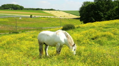 White Horse on the meadow. Stock Footage