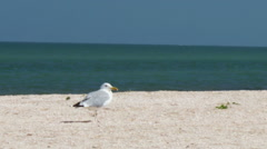 Seagull on the beach, stands and walks on the beach by the sea on a background Stock Footage