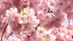 Sakura tree branches and pink flowers, blooms in spring time footage Stock Footage