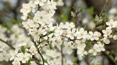 Plum tree blossoms spring nature footage Stock Footage