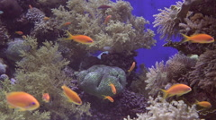 Gold fish swim underwater in Coral in Eilat Israel - stock footage