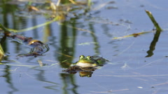 Edible frog green / common water frog blowing cheek pouches slow motion swimming Stock Footage