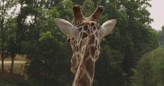 Giraffe back head view Stock Footage