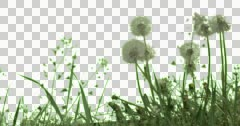 White Fluffy Dandelions Plants Flowers Grass Stock Footage