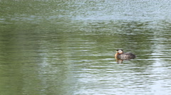 Red-necked grebe - wide shot in water - 4k Stock Footage