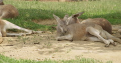 Napping Kangaroo - stock footage