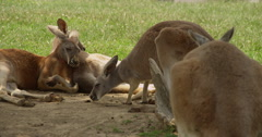 Kangaroo Sleeping Stock Footage
