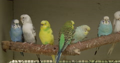 Parakeets on a Perch Stock Footage