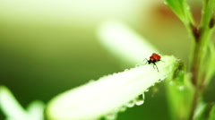 Stock Video Footage of Red Bug With Water Drops On Unopened Regal Lily Flower