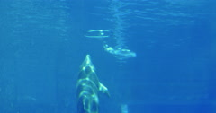 Dolphin underwater playing with ring in aquarium tank Stock Footage