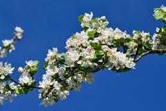 Apple tree in blossom Stock Photos