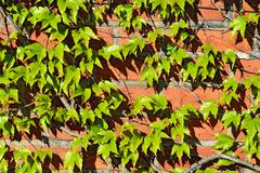 Stock Photo of Wild grapes on the old brick wall
