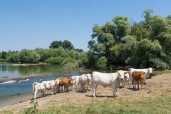 Charolais cows in river - stock photo