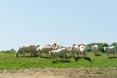 French Charolais cattle cows - stock photo
