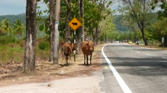 Cattle and cows ahead road sign, tropical island rural road Stock Footage