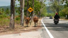 Rural road, cows ahead sign, real cows stand on the roadside, traffic Stock Footage