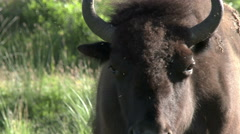 Bison, Buffalo, American West - stock footage