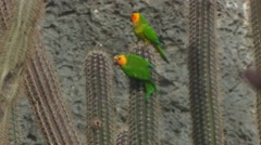 Brown-throated  Parakeets Stock Footage