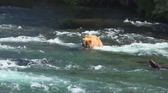Bear Snorkels Rapidly Downstream & Dives Twice for Fish Stock Footage