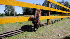 Donkey grazing on a wooden fence Stock Footage