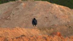 Vulture at Venezuelan Sunset - stock footage