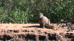 Capybaras Stock Footage