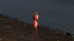 Greater Flamingos Stock Footage