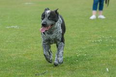 Mix breed running off leash - stock photo