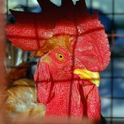 Cock Stock Photos