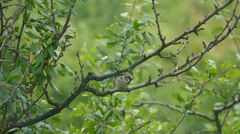 Sparrow on a branch 3 Stock Footage