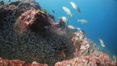 School of fish feeding frenzy bait Stock Footage