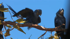 Hyacinth Macaws Stock Footage
