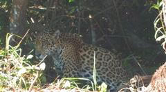 Jaguar Stock Footage