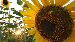 Sunflower field during sunset, Pan camera Stock Footage