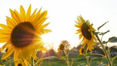 Sunflower field during sunset, Pan camera - stock footage