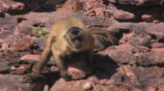 Capuchin Monkey Stock Footage
