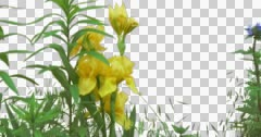 Yellow Iris Flowers Grass Green Plants Leaves Stock Footage
