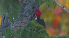 Red-headed Woodpecker - stock footage
