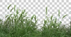 Wheat Spikelets Grass Green Plants Leaves Flowers Stock Footage
