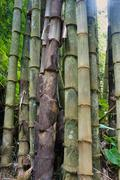 Green Bamboo in tropical jungle. Philippines. Stock Photos