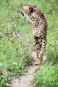 Wild Cheetah (Acinonyx jubatus) Kuvituskuvat