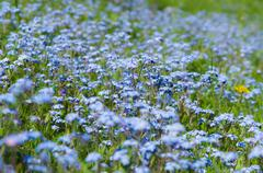 Blossom forget-me-not flowers field summertime background Stock Photos
