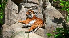 Sumatransky tiger lies on big stones Stock Footage