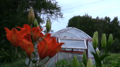 Focus change dark orange lilies and greenhouse in country garden Stock Footage