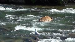 Younger Brown Bear Wades Across River Using the Snorkeling Technique & Diving Stock Footage