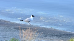 Tern stands and walks along coastline near blue water surface Stock Footage