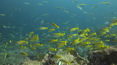 School of fish yelow huge swim Stock Footage