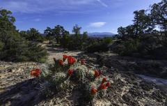 Crimson hedgehog cactus Blossom Escalante National Park Utah - stock photo